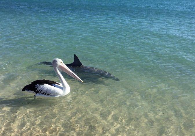pelicano-australiano-delfin