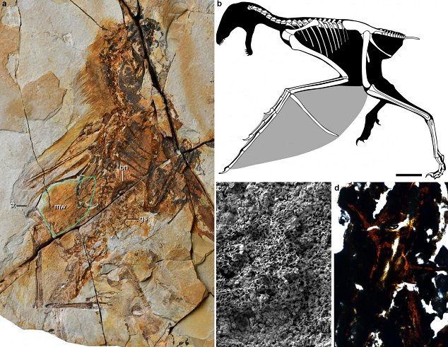 Ambopteryx-longibrachum-fosil-