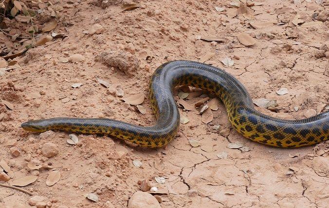 anaconda-carretera