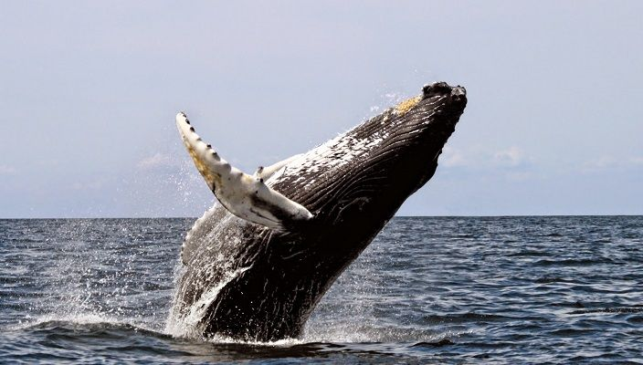 ballena-jorobada-saltando-