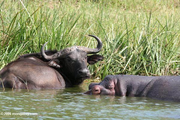 bufalo hipopotamo