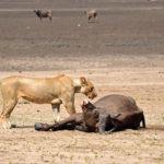 leona caza bufalo