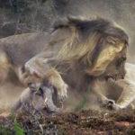 ¿Se salvará este jabalí de la emboscada de las leonas?