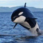 Una orca parece intentar alimentar a una científica en la Antártida