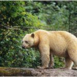 oso espiritu oso kermode