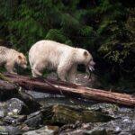 oso-pardo-albino-cria