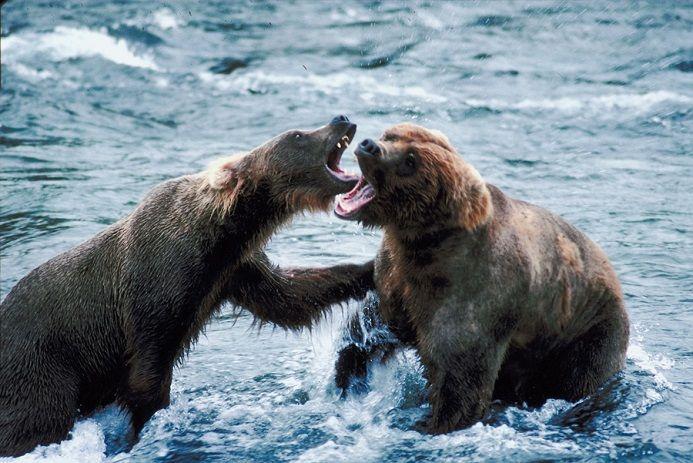 osos-peleando
