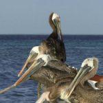 Gaviotas robando su caza a los pelícanos