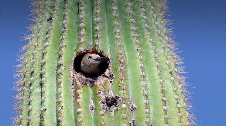 Saguaro-pajaro-cactus-