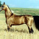 caballo-akhal-teke