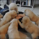 cachorros golden retriever atacando
