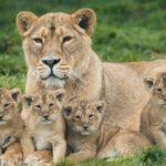 cachorros leon leona