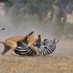 Cebra defendiéndose intensamente de una leona