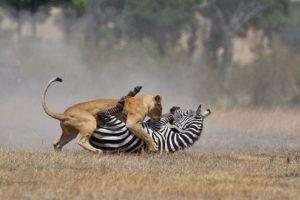 cebra-leona-peleando