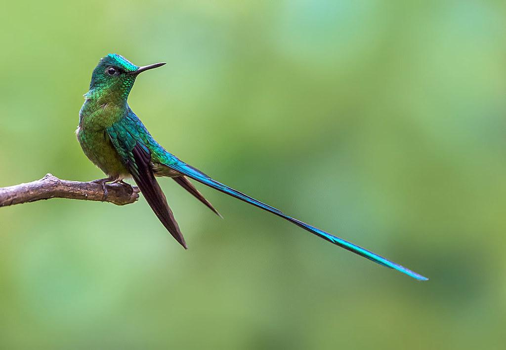 colibri andes