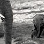 cria elefante