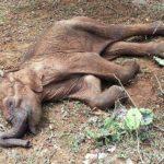 cria elefante muerta