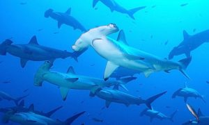 decenas de tiburones martillo