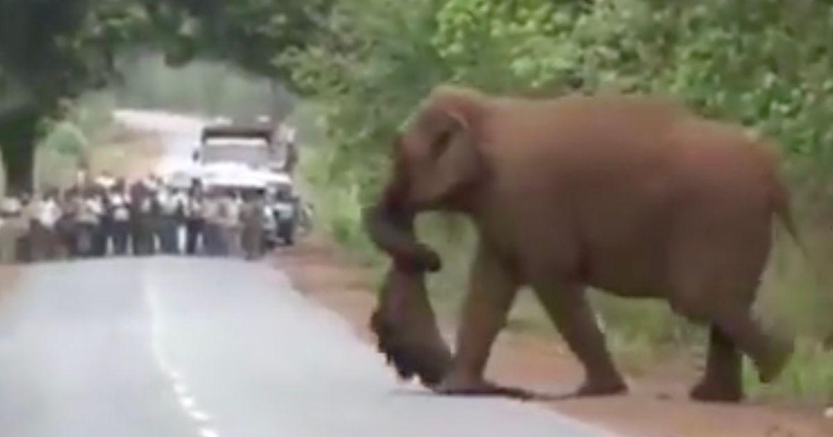 elefante cargando una cria muerta funeral de elefantes