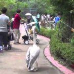 Gangsta Pelican: el pelícano más chulo del mundo