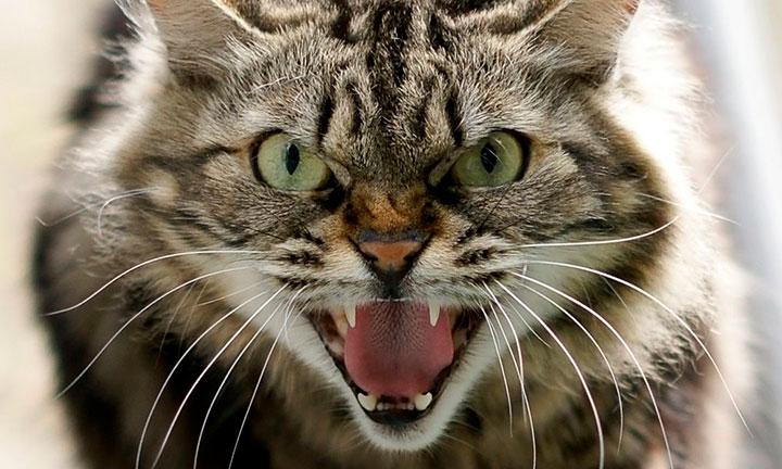 gato feroz