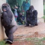 Estos gorilas odian la lluvia
