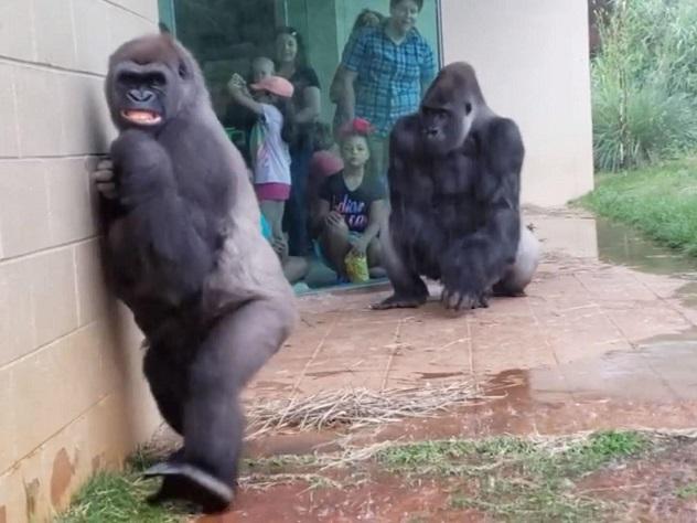 gorila odia lluvia