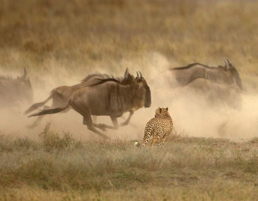 guepardo persiguiendo ñu