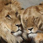 -leon-y-leona-cariñosos