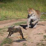 leopardo-cazando-cria-jabali