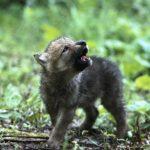 lobo-cachorro-aullando