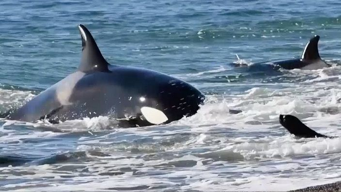 orcas-cazando-leones-marinos