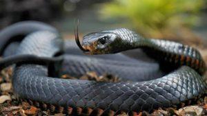 serpiente africa