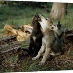 tres-cachorros-de-lobo-aullando