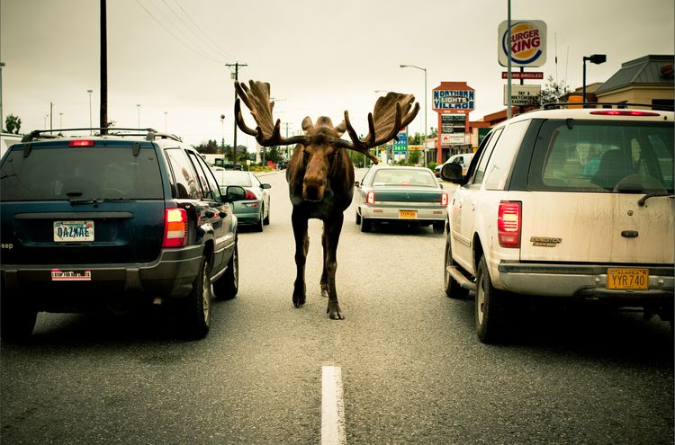 alce calles alaska