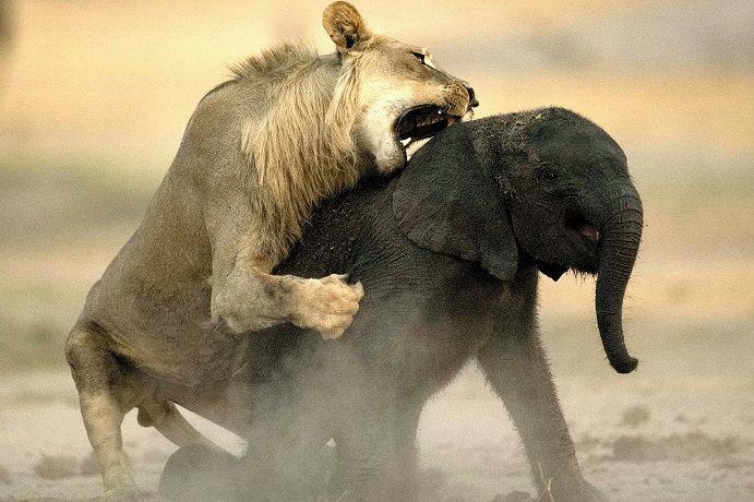 leona-cazando-elefante-