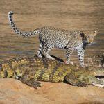 leopardo-cocodrilo