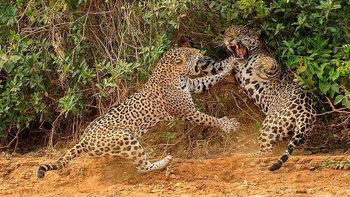 leopardos-peleando-