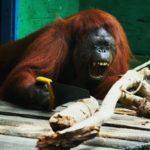 Orangután serrando ramas por diversión