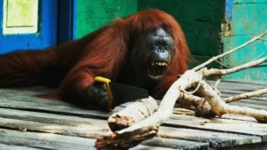 -orangutan-serrando-ramas