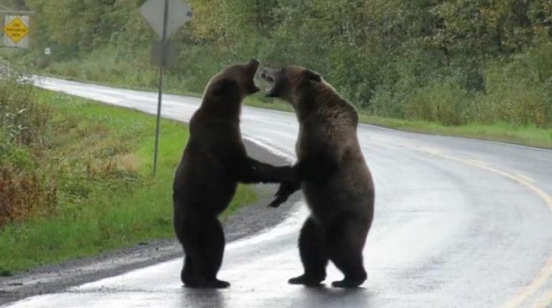 osos-grizzly-peleando-carretera-canada-2019
