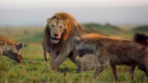 leones hienas BBC Earth