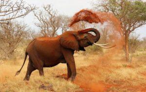 Elefante-africano