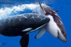 orca cazando tiburon blanco