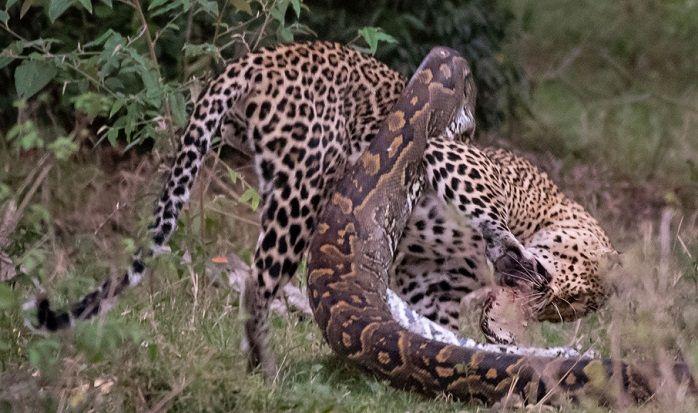 piton-leopardo