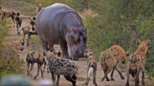 hipopotamo-perros-salvajes-kruger-